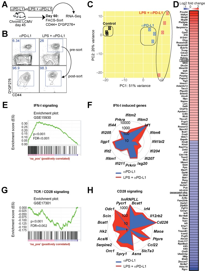 Gene expression profiling of virus-specific CD8 T cells shows enrichment in IFN-I and CD28 driven genes. ( A ) Experimental outline for comparing the transcriptional signature of virus-specific CD8 T cells. RNA-Seq was performed on FACS-sorted D b GP276+ CD8 T cells from spleen. ( B ) Cell purity following FACS-sorting of virus-specific CD8 T cells. ( C ) PCA comparing the transcriptional landscape of rescued CD8 T cells following PD-L1 blockade alone or combined LPS and PD-L1 blockade. ( D ) Heat map of the most differentially expressed genes between single and combined treatment. ( E ) GSEA plots demonstrating enrichment for IFN-I signaling genes in virus-specific CD8 T cells following combined therapy. ( F ) Radar plots showing expression of various IFN-I driven genes. ( G ) GSEA plots demonstrating enrichment for CD28 costimulation genes in virus-specific CD8 T cells following combined therapy. In panels E and G, DN and UP mean downregulated or upregulated, respectively, relative to previously identified transcriptional signatures used as reference. ( H ) Radar plots showing expression of various CD28 driven genes. The genes selected were shown to be enriched following CD28 costimulation in a prior publication [ 71 ]. Presented data are from one experiment, control (n = 3), PD-L1 therapy alone (n = 3), or combined LPS and PD-L1 therapy (n = 4) at day 15 post-treatment.