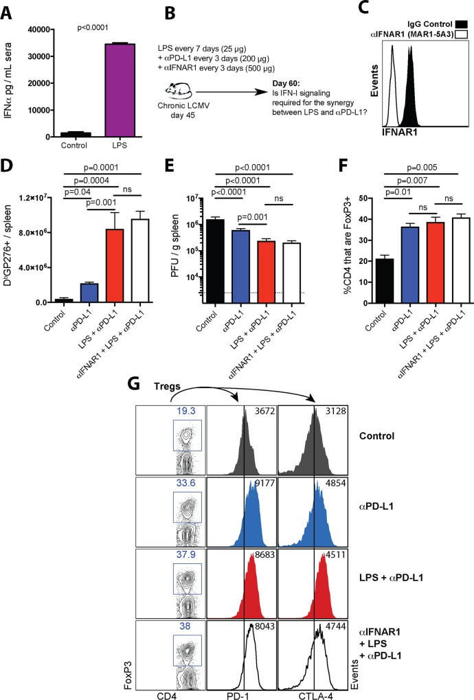 IFN- I signaling is dispensable for the potentiation of PD-1 therapy by LPS. ( A ) Systemic IFNα levels after LPS administration in chronically infected mice. Chronically infected mice (~day 45 post-infection) were treated with either PBS or LPS, and IFNα levels were quantified in sera after 24 hours. ( B ) Experimental outline for blocking interferon type I receptor. Mice chronically infected with LCMV Cl-13 received a standard PD-L1 blockade regimen combined with LPS administration and injection of IFNAR1 (MAR1-5A3) blocking antibody. ( C ) Representative FACS histogram corroborating that MAR1-5A3 antibody blocks the IFNAR1 receptor at day 3 post-treatment (gated on PBMCs). ( D ) Summary of D b GP276+ responses in spleen. ( E ) Summary of viral control in spleen. ( F ) Summary of Treg responses in spleen. ( G ) Representative FACS plots showing the frequencies of splenic CD4 T cells that are FoxP3+ (first column). In the second and third columns, FoxP3+ CD4 T cells were gated to quantify inhibitory receptor expression. Note that LPS treatment does not attenuate Treg responses. For plaque assays the limit of detection is indicated by a dashed line. Data are pooled from different experiments. Experiments were performed 2 times, n = 4–5 mice per experiment; ns, not significant. Statistical analyses were performed using ANOVA for multiple comparisons with Holm-Sidak's correction. Error bars represent SEM.