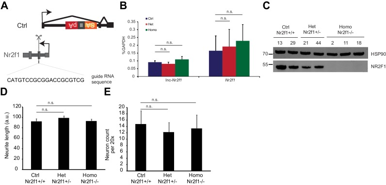 Characterization of the epistasis relationship between mouse Nr2f1 and lnc-Nr2f1 . ( A ) CRISPR knock out strategy to generate Nr2f1 knockout (Homo) and heterozygous null lines (Het) from the control mES cells (Ctrl). ( B ) qRT-PCR results for lnc-Nr2f1 and Nr2f1 in the Ctrl, Nr2f1 heterozygous null and Nr2f1 knock out day 4 Ngn2 mES-iN. (n = 4 for Ctrl and Homo, n = 6 for Het; n.s. denotes not significant by two tailed t test) ( C ) Western blot showing the level of NR2F1 for individual clones of Ctrl, Het and Homo for day 4 Ngn2 mES-iN. ( D ) Neurite length measurement of the Ngn2 day 3 mES iN cells generated from the Nr2f1 Ctrl, Het or Homo lines. (n = 4 for Ctrl and Homo, n = 6 for Het) (n.s. indicates p