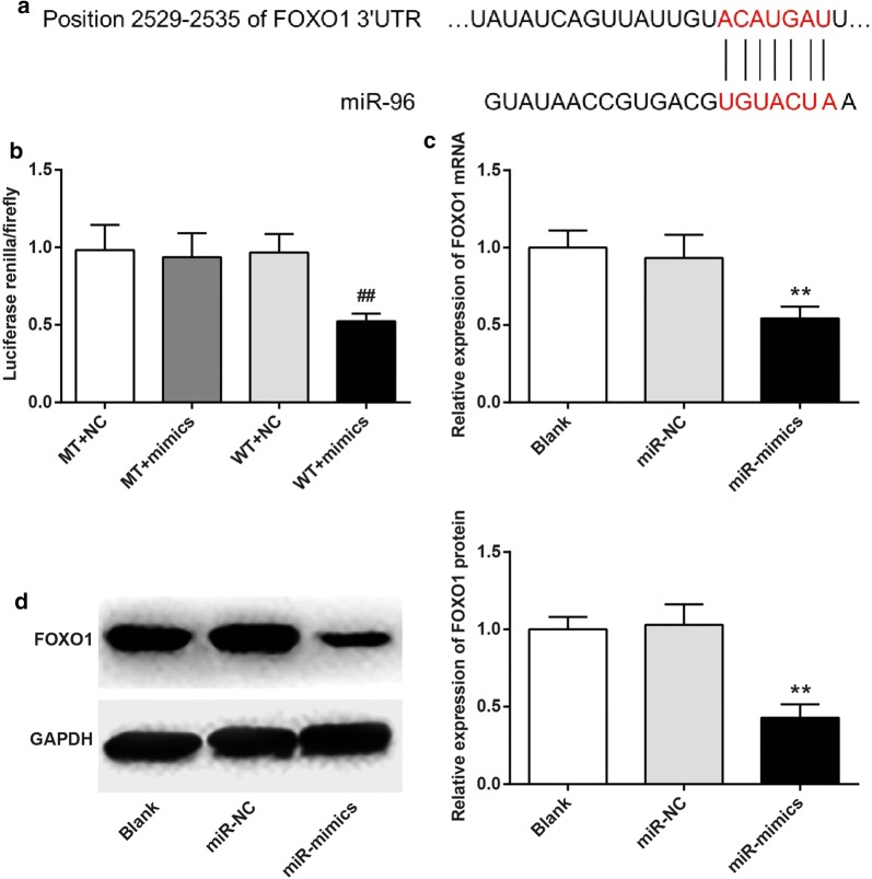 FOXO1 was directly suppressed by miR-96. a Prediction of binding sites for FOXO1 and miR-96 by Target Scan; b Luciferase reporter assay; c FOXO1 mRNA expression by qRT-PCR; d FOXO1 protein expression by Western blot. ## P