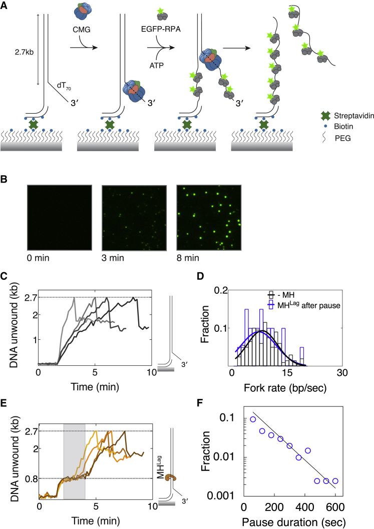 Single-Molecule Detection of CMG Pausing at a Lagging-Strand <t>Methyltransferase</t> Block (A) Schematic representation of experimental approach used in single-molecule DNA unwinding assays. (B) Images of a sample field of view showing accumulation of EGFP-RPA fluorescence signal at different time points from the addition of EGFP-RPA into the chamber. (C) Example unwinding traces of DNA substrates without a protein barrier. Traces exhibit a signal drop upon completion of unwinding due to dissociation of the leading-strand template (depicted in A). (D) Distribution of average fork rates measured in fully unwound substrates without MH (black) and after bypassing MH Lag (blue). Number of molecules are n(-MH) = 199, n(MH Lag after pause) = 20. (E) Sample unwinding traces of DNA substrates modified with MH Lag . Pausing observed at 800 bp is highlighted with gray rectangle. (F) Distribution of pause durations observed in molecules exhibiting a pausing event (n = 109). The solid line is a fit to a single exponential. See also Figure S6 .