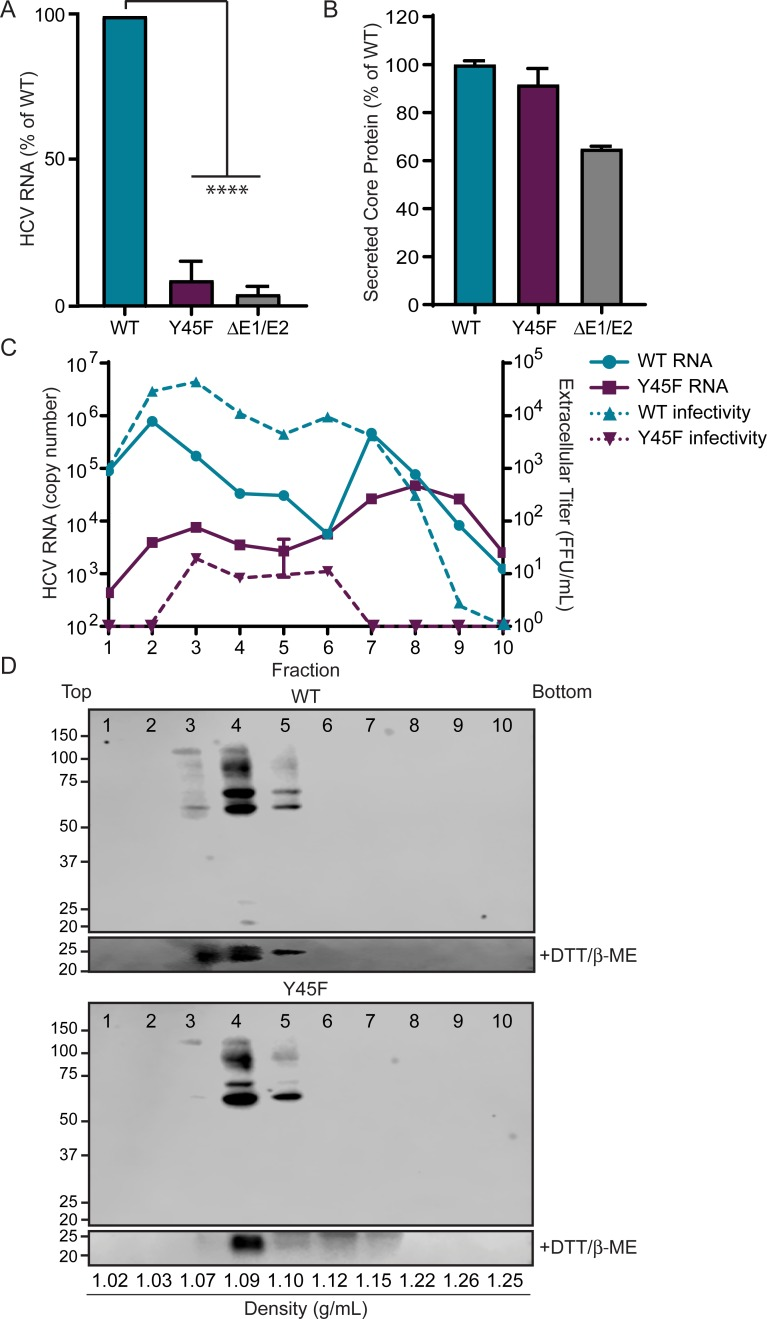 The NS4A Y45F mutation results in production of partially formed virions. Supernatants harvested from Huh7.5 cells 48 hours post-electroporation of NS4A WT, NS4A Y45F, or ΔE1/E2 in vitro transcribed HCV RNA (JFH1) were analyzed for HCV RNA by RT-qPCR (A) or Core protein by ELISA (B). Data in A are presented as mean ± SEM (n = 3) and analyzed by unpaired t-test. ****P