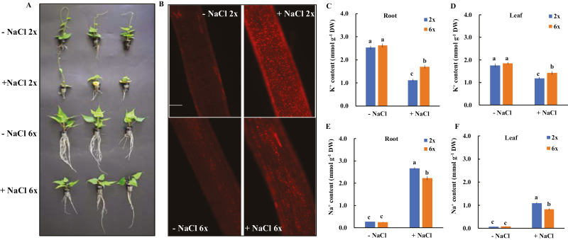 Effects of NaCl stress on the growth (A), root cell membrane integrity (B), tissue K + (C and D), and Na + (E and F) contents in 2 x and 6 x I. trifida. – NaCl indicates that plants were grown in the non-buffered culture solution; + NaCl indicates that plants were exposed to 150 mM NaCl stress for 7 d. (B) Representative PI staining image of the root elongation zone (three independent experiments) for each treatment; scale bar=0.2 mm. (C–F) Data were expressed as the mean ±SE (three independent experiments). Columns with different letters are significantly different at P