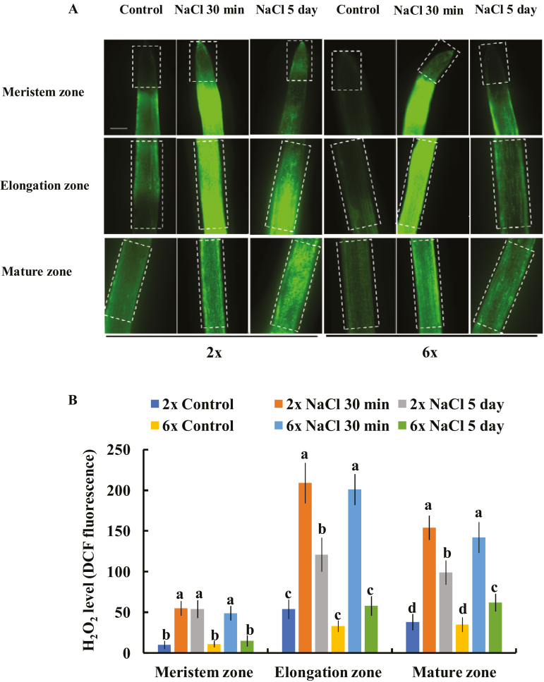 Effects of NaCl stress (150 mM NaCl) on the H 2 O 2 production in the meristem, elongation, and mature root zones of 2 x and 6 x I. trifida . (A) Representative images showing the alteration of H 2 O 2 accumulation before and after NaCl treatment. Boxes indicate the AOI for the quantification of fluorescence intensity by using Image-Pro Plus 6.0. (B) DCF fluorescence intensity in (A). For each treatment, 20 root segments from 10 individual plants were observed and quantified. Columns labeled with different letters indicate significant difference at P