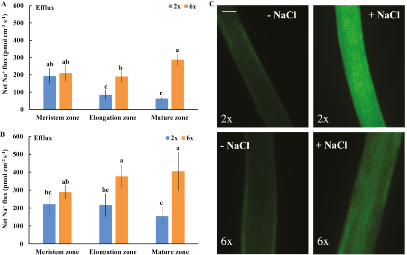 Effects of NaCl stress (150 mM) on the steady-state flux of Na + and intracellular Na + accumulation in roots of 2 x and 6 x I. trifida . (A and B) Na + flux. The steady-state Na + flux was measured from the meristem (300–600 µm from the tip), elongation (1–3 mm from the tip), and mature (10–15 mm from the tip) root zones after 24 h (A) and 5 d (B) of NaCl treatment. Each column is equivalent to the mean of 12 roots collected from six individual seedlings. The bars represent the SE. Columns labeled with different letters indicate a significant difference at P