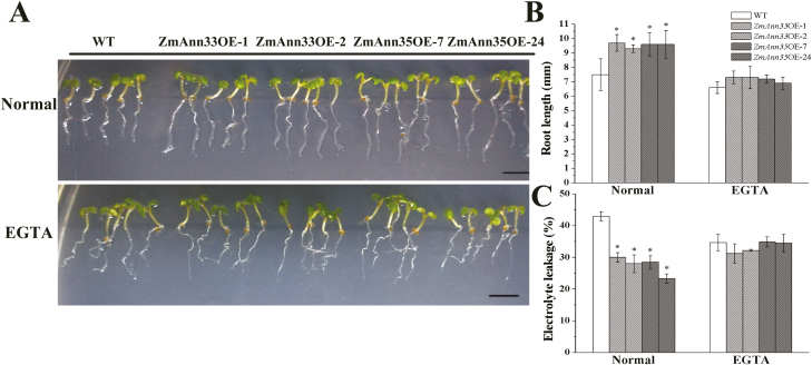 Ectopic expression of ZmANN33/35 promoted seedling recovery from chilling stress. (A) Phenotypes of Arabidopsis seedlings after 2 d of recovery from chilling stress (1 °C). ZmANN33 ectopic expression Arabidopsis seedlings (ZmANN33OE-1, ZmANN33OE-2), ZmANN35 ectopic expression seedlings (ZmANN35OE-7, ZmANN35OE-24) and WT (Col) were grown for 4 d at 23 °C on standard 1/2 MS medium and 1/2 MS medium supplemented with 5 mM EGTA. Then they were subjected to 1 °C for 3 d. After the chilling treatment, two kinds of transgenic seedlings and WT under different treatments were transferred to 23 °C for 2 d recovery. Bar=5 mm. (B, C) Root length and electrolyte leakage of different Arabidopsis seedlings corresponding to (A). *Significant difference from WT at α=0.05, LSD test. (This figure is available in color at JXB online.)
