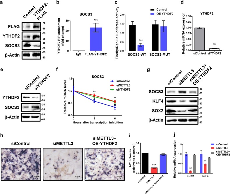 Silencing of METTL3 elevates SOCS3 mRNA stability via YTHDF2-dependent mechanism. a Western blot analysis of FLAG, YTHDF2, and SOCS3 in piPSCs transfected with control and YTHDF2-FLAG plasmid. β-Actin was used as loading control. b RNA immunoprecipitation (RIP) analysis of the interaction of SOCS3 with FLAG in piPSCs transfected with YTHDF2-FLAG plasmid. Enrichment of SOCS3 with FLAG was measured by qPCR and normalized to input. c Relative luciferase activity of WT or MUT SOCS3-3′UTR luciferase reporter in piPSCs transfected with control or YTHDF2 plasmid. Firefly luciferase activity was measured and normalized to Renilla luciferase activity. d qPCR analysis of YTHDF2 in control and YTHDF2 knockdown piPSCs. GAPDH was used as an internal control. e Western blot analysis of SOCS3 and YTHDF2 in piPSCs with or without YTHDF2 knockdown. f mRNA stability analysis of SOCS3 mRNA in control, METTL3-depleted or YTHDF2-depleted piPSCs treated with actinomycin D for 3 and 6 h. g Western blot analysis of SOCS3, KLF4, and SOX2 in piPSCs with or without METTL3 knockdown and transfected with control or YTHDF2 plasmid. h AP staining of piPSCs with or without METTL3 knockdown and transfected with control or YTHDF2 plasmid. i Quantification of AP-positive colonies of piPSCs with or without METTL3 knockdown and transfected with control or YTHDF2 plasmid. j qPCR analysis of SOX2 and KLF4 expression in piPSCs with or without METTL3 knockdown and transfected with control or YTHDF2 plasmid. Data were presented as mean ± SD of three independent experiments. ** P