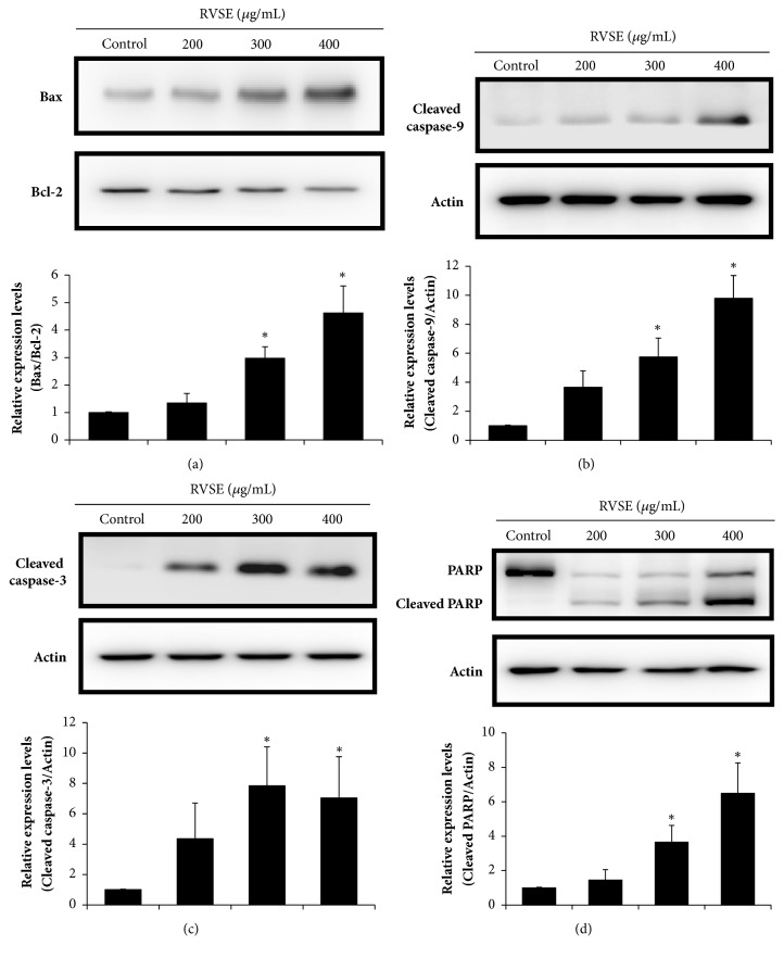 Effects of 200, 300, and 400 μ g/mL RVSE for 24 h on the <t>Bax:Bcl-2</t> ratio, and the cleaved caspase-3 and -9 and <t>PARP</t> levels in MCF-7 cells. Western blotting was performed for the determination of the relative protein levels of (a) Bax:Bcl-2 ratio, (b) cleaved caspase-9, (c) cleaved caspase-3, and (d) PARP and cleaved PARP. β -Actin was used as the loading control. A representative of three blots yielding similar results is shown. Relative levels (protein vs.β -actin) were evaluated by densitometry. Data are means ± SD of three independent experiments. ∗P