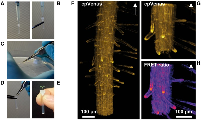 Close to physiological mounting procedure for 3D imaging of Arabidopsis seedling roots. After cleaning, FEP tubes were coupled with the upper part of a 10 μl pipette tip and filled with a Phytagel™-based solution (A). A layer of agarose-based solution was then placed on top of the tube (B), where the seedlings were placed (D) after germination in Petri dishes (C). The roots grew inside the jelly matrix (E), and developing root hairs could be imaged thorough the FEP tube. Three-dimensional reconstructions of Arabidopsis root expressing the cytosolic-targeted Cameleon NES-YC3.6. Slices were acquired with a step of 1.5 μm. The single channel reconstruction (F) shows the root hairs three-dimensionally organized around the mature zone. Root hairs look straight, smooth and usually follow gravitropism, as shown in detail in (G). The same consideration can be made by looking at the FRET reconstruction (H). The arrow in (F–H) indicates the shoot position.