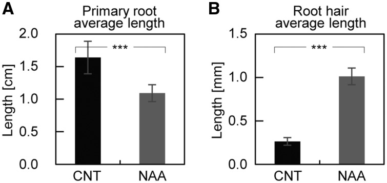 Comparison between wild-type Arabidopsis seedling grown in a standard MS/2 medium or supplemented with 50 nM NAA. Primary root (A) and root hair length (B) of seedlings germinated and grown in Petri dishes in the presence or absence of 50 nM NAA. Statistical analysis shows that plants grown in the presence of NAA have, on average, a shorter primary root ( n CNT = 20 and n NAA = 18) (A) and longer root hairs ( n CNT = 23 and n NAA = 29) (B). Values are means ± SD.