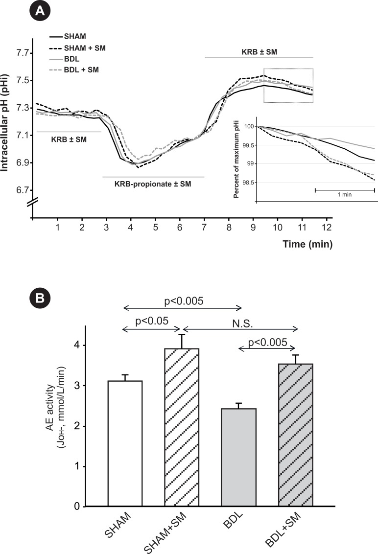 Changes in hepatocyte anion exchange activity induced by BDL. (A) Representative traces of changes in intracellular pH (pHi) of perfused rat hepatocytes showing the recovering acidification that follows the alkalinization elicited by propionate removal, and results from AE2-mediated HCO 3 - secretion (demarcated zone in the curves). Inset graph shows the pH i changes with time, indicative of AE activity, during the phase of recovering acidification, expressed as the percent of the initial, maximum pH i in BDL and SHAM hepatocytes, under the presence or absence of a stimulatory mixture (SM: dibutyryl cyclic AMP, IBMX and forskolin) in the perfusion buffers. (B) Anion exchange (AE) activity, expressed as J OH -, in primary cultured hepatocytes from BDL and SHAM rats, in the presence or absence of SM in the perfusion buffers. Results are mean ± SEM, n = 20 to 60 cells per preparation, from 3 independent cellular preparations per experimental group.