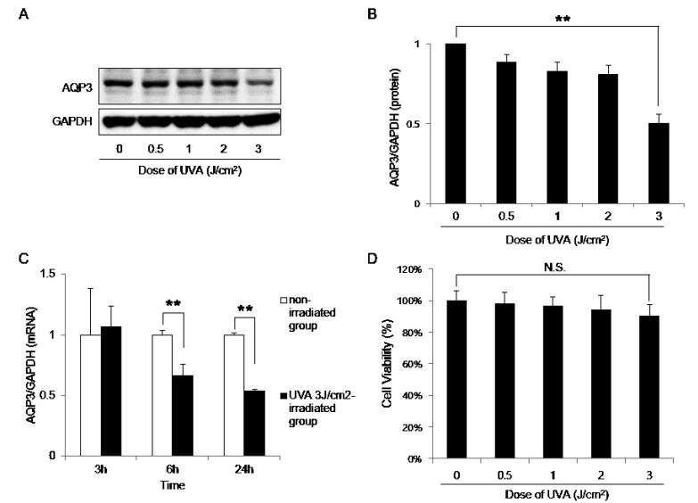 AQP3 expression is downregulated by UVA irradiation. (A) HaCaT keratinocytes were irradiated with the indicated doses of UVA or left non-irradiated (control) and harvested after 24 h for Western blot analysis. (B) The protein level of AQP3 was quantified relative to that of GAPDH using the Image J software from National Institutes of Health. The results are presented as the mean expression level obtained from three independent experiments ± SD ( ** p