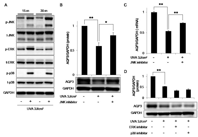 Involvement of JNK phosphorylation in the UVA-induced downregulation of AQP3. (A) Cells were irradiated with UVA 3 J/cm 2 and harvested at the indicated time points. Protein samples were subjected to Western blotting for phospho-JNK, total JNK, phospho-ERK, total ERK, phospho-p38, total p38, and GAPDH. (B) Cells pretreated with 100 nM SP600125 (a JNK inhibitor) for 1 h were irradiated with UVA 3 J/cm 2 and harvested after 24 h. The protein level of AQP3 was analyzed by Western blotting and quantified relative to the level of GAPDH using the ImageJ software. (C) The mRNA expression of AQP3 was examined by qRT-PCR. (D) Cells pretreated with 10 µM PD98059 (an ERK inhibitor) or 5 µM SB203580 (a p38 inhibitor) for 1 h were irradiated with UVA 3 J/cm 2 and harvested after 24 h. The protein level of AQP3 was analyzed by Western blotting and quantified relative to the level of GAPDH using the ImageJ software. Values represent the mean expression level ± SD (n = 3, * p