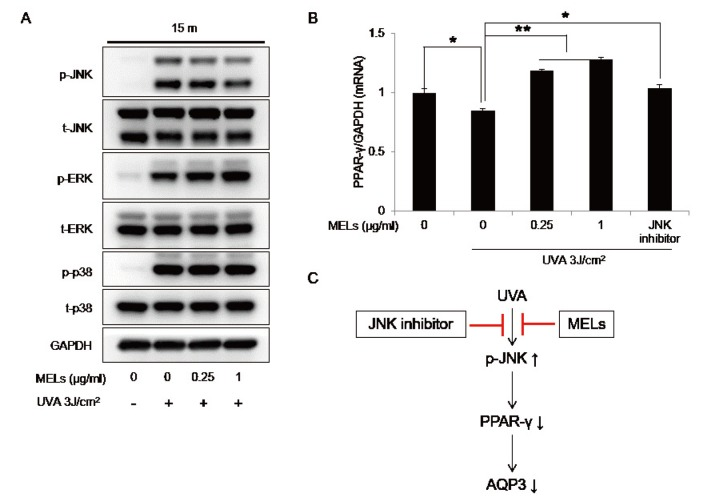 The effects of MELs on JNK phosphorylation and PPAR-γ expression in UVA-irradiated HaCaT keratinocytes. (A) Cells pretreated with the indicated concentrations of MELs for 1 h were irradiated with UVA 3 J/cm 2 and harvested after 15 min. The protein levels of phospho-JNK, total JNK, phospho-ERK, total ERK, phospho-p38, total p38, and GAPDH were evaluated by Western blot analysis. (B) Cells treated with UVA 3 J/cm 2 and the indicated concentrations of MELs or a JNK inhibitor for 16 h were prepared for qRT-PCR analysis of PPAR-γ mRNA expression. Values represent the mean expression level obtained from three independent experiments ± SD ( * p