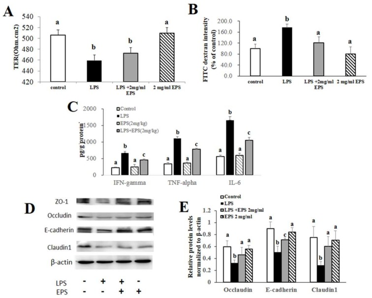 EPS-1 Protected intestinal barrier integrity from the disruption by LPS in Caco-2 monolayer. ( A ) The changes of transepithelial electrical resistance (TER) before and after treatment with LPS (10 μg/mL) and/or EPS-1 (2 mg/mL) for 24 h in Caco-2 monolayer. ( B ) FITC-dextran (4 kDa) permeability measurement in 21-day cultured Caco-2 monolayer after LPS and/or EPS-1 treatment. ( C ) The levels of pro-inflammatory cytokines in the Caco-2 cells from each treatment group. ( D ) Protein expression of Occludin, E-cadherin and Claudin1 in the Caco-2 cells from each treatment group. ( E ) Relative protein levels of Occludin, E-cadherin and Claudin1 in Caco-2 cells normalized to β-actin. Values with different superscript letters (a, b, c) are significantly different ( p