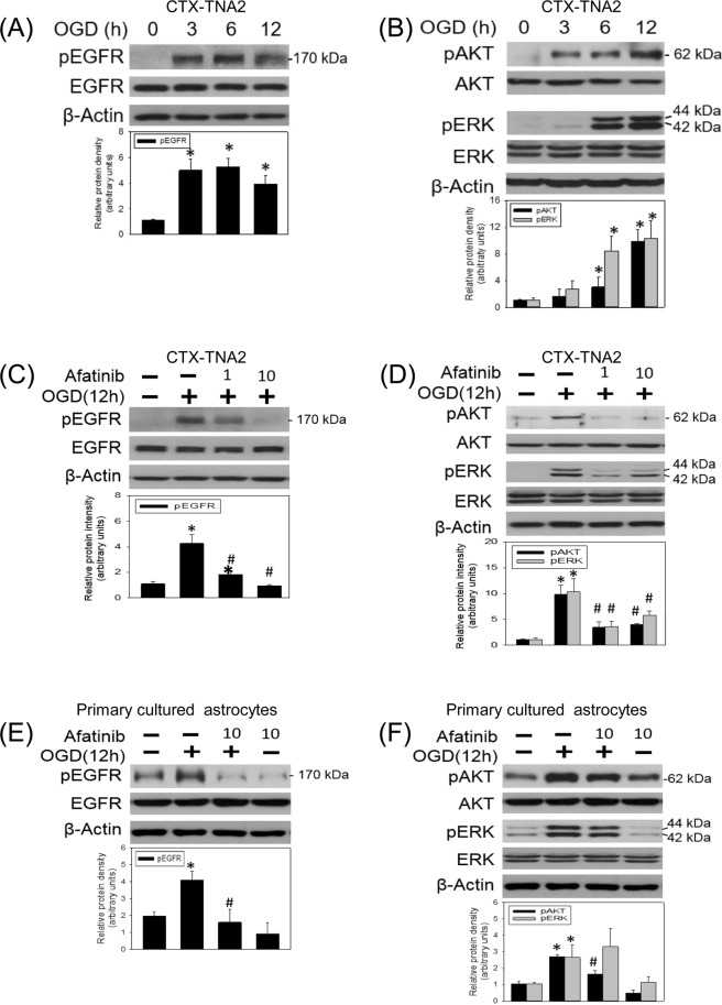 Afatinib blocked OGD-induced EGFR activation and downstream signalings. ( A , B ) CTX-TNA2 cells were exposed to oxygen-glucose deprivation (OGD) for various durations (3, 6, 12 h). Western blot assay was employed to measure ( A ) the levels of phospho-EGFR (pEGFR) and total-EGFR (EGFR) as well as ( B ) phospho-ERK (pERK), total-ERK (ERK), phospho-AKT (pAKT), total-AKT (AKT) and β-Actin. Each lane contained 40 μg protein for all experiments. Graphs show statistical results of pEGFR and EGFR ( A ) as well as pERK, ERK, pAKT and AKT ( B ) from relative optical density of bands on the blots. *P