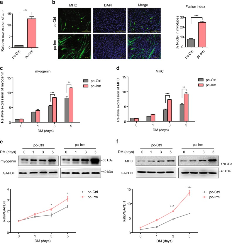 Overexpression of Irm enhances myogenic differentiation. a Relative expression levels of Irm in C2C12 cells expressing pcDNA3.1 (pc-Ctrl) or pcDNA3.1- Irm (pc-Irm), as detected by qRT-PCR. b The differentiation of Irm -overexpressed C2C12 cells was detected by staining for MHC at 48 h in DM. Fusion index was calculated. Scale bars, 50 mm. c, d The mRNA levels of myogenin ( c ) and MHC ( d ) were detected by qRT-PCR in Irm -overexpressed C2C12 cells at 0, 1, 3, and 5 days in DM. e, f The protein levels of myogenin ( e ) and MHC ( f ) were detected by western blotting in Irm -overexpressed C2C12 cells at 0, 1, 3, and 5 days in DM. Myogenin protein levels were normalized to the GAPDH protein levels. Data shown represent the mean ± SEM of three independent experiments. * P
