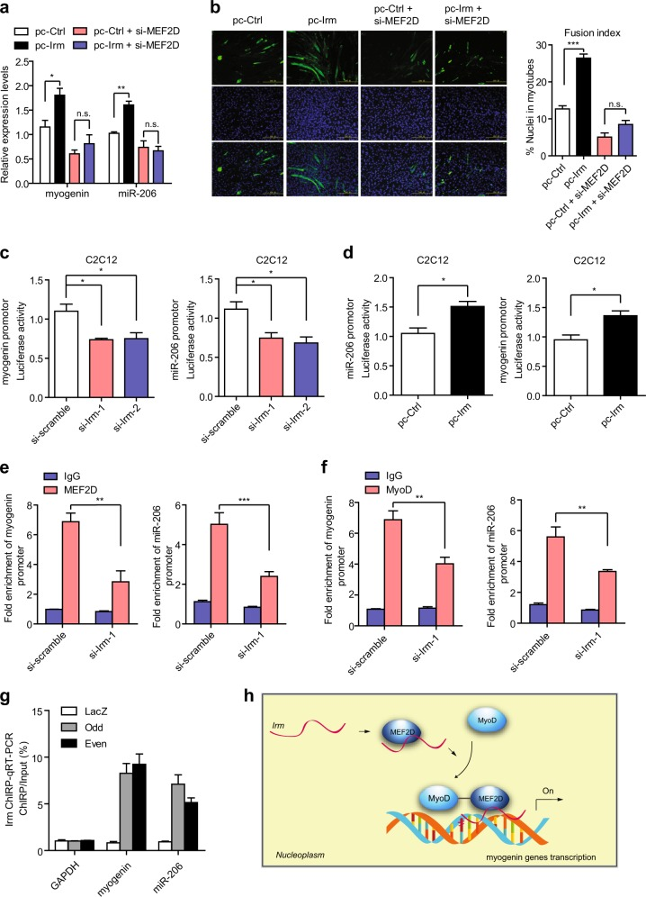 Irm enhances the transcriptional activity of MyoD/MEF2D. a The effect of Irm knockdown on the expression of myogenin and miR-206 depended on MEF2D, which was detected by qRT-PCR. b The effect of Irm knockdown on the differentiation of C2C12 cells depended on MEF2D. Fusion index was calculated. Scale bars, 50 mm. c C2C12 cells were transfected with si-Irm or si-scramble, and the luciferase reporter plasmids were generated by inserting the promoter region of myogenin or miR-206. The luciferase activities were measured 48 h after differentiation. d C2C12 cells were transfected with pc-Irm or pc-Ctrl, and the luciferase reporter plasmids were generated by inserting the promoter region of myogenin or miR-206. The luciferase activities were measured 48 h after differentiation. e Knockdown of Irm impaired the binding ability of MEF2D to myogenin and miR-206 promoters, which was determined by ChIP and qRT-PCR assays. f Knockdown of Irm impaired the binding ability of MyoD to myogenin and miR-206 promoters, which was determined by ChIP and qRT-PCR assays. g Chromatin isolation by RNA purification (ChIRP) assay was performed using even and odd antisense oligos tiling Irm and, a significant amount of genomic DNAs corresponding to myogenin and miR-206 promoters but not in glyceraldehyde 3-phosphate dehydrogenase (GAPDH) locus was retrieved. LacZ ChIRP retrieved no signal. h Model for Irm -regulating myogenesis. Data shown represent the mean ± SEM of three independent experiments. n.s., not significant; * P