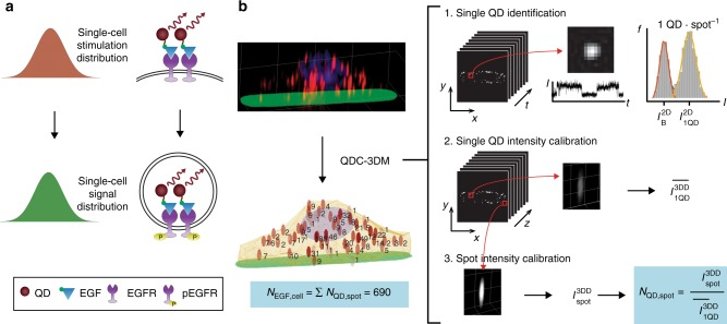 Quantum dot (QD) calibrated three-dimensional (3D) deconvolution microscopy (QDC-3DM). a Schematic representation of the contribution of single-cell stimulation distribution (growth factor binding) to signaling response distribution (measured by receptor internalization). b Depiction of the QDC-3DM image analysis methodology to count growth factors in single cells. The process begins with acquisition of 3D fluorescence images of single cells to localize single QDs and spatially register their locations. A representative 3D image shows a cell stimulated with QD-epidermal growth factor (QD-EGF) (red) on an Alexa Fluor 488-labeled fibronectin substrate (green) with nucleus labeled with Hoechst (blue). Each 3D image is deconvolved and spatially correlated to two-dimensional (2D) videos in the QD color channel. In the first step shown at right, time traces of spot intensities are used to identify single QDs by their distinctive two-component intensity distributions. In the second step, the average intensity of these single QDs from 3D deconvolved images, \documentclass[12pt]{minimal} \usepackage{amsmath} \usepackage{wasysym} \usepackage{amsfonts} \usepackage{amssymb} \usepackage{amsbsy} \usepackage{mathrsfs} \usepackage{upgreek} \setlength{\oddsidemargin}{-69pt} \begin{document}$$\overline {I_{1{\mathrm{QD}}}^{3{\mathrm{DD}}}}$$\end{document} I 1 QD 3 DD ¯ , is measured. In the third step, the 3D intensity of each spot, \documentclass[12pt]{minimal} \usepackage{amsmath} \usepackage{wasysym} \usepackage{amsfonts} \usepackage{amssymb} \usepackage{amsbsy} \usepackage{mathrsfs} \usepackage{upgreek} \setlength{\oddsidemargin}{-69pt} \begin{document}$$I_{{\mathrm{spot}}}^{3{\mathrm{DD}}}$$\end{document} I spot 3 DD , is measured and registered to the average single-QD intensity, to calculate the number of QD-EGF per spot, N QD,spot . The number of EGF per cell, N EGF,cell , is then calculated as the sum of all N QD,spot