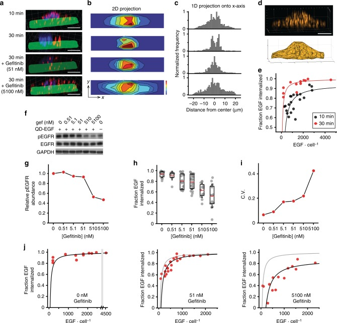 Single-cell epidermal growth factor (EGF) binding correlates with single-cell receptor translocation and drug response. a Representative three-dimensional (3D) images of MDA-MB-231 cells after stimulation with quantum dot-EGF (QD-EGF) in the absence or presence of EGFR inhibitor gefitinib. Times after the start of a stimulation pulse are indicated. QDs are shown in red, nuclei are blue, and Alexa Fluor 488-conjugated fibronectin micropatterns are green. b Two-dimensional (2D) z -projections on xy fibronectin micropattern planes and c one-dimensional (1D) projections on x -axes indicate the localization of single EGF averaged across cells. d Representative image of cell membrane measured through fluorescence imaging of fluorescently labeled receptors (top) and membrane reconstruction using alpha shapes (bottom). e Correlation between EGF number and fraction of EGF internalized in individual cells at 10 and 30 min after the start of a QD-EGF stimulation pulse. f Western blots and g relative pEGFR abundance in MDA-MB-231 whole-cell lysates immediately after stimulation with QD-EGF in the presence of indicated gefitinib concentrations. Uncropped western blots with molecular weight markers are shown in Supplementary Figure 16 . h Fraction of EGF internalized in single cells at different gefitinib concentrations, 30 min after the start of a QD-EGF pulse. The box indicates 25/75th percentile; red lines are means; whiskers are s.d. i Coefficient of variation (CV) of the fraction of EGF internalized in h . j Number of EGF bound impacts the fraction of EGF internalized 10 min after the start of a QD-EGF pulse in the presence of gefitinib at 0, 51, and 5,100 nM concentration. The gray line shown in 51 nM (middle) and 5100 nM (right) gefitinib plots is the linear fit for 0 nM gefitinib condition (left). Data fits are shown in Supplementary Figure 14 . N = 20 and 12 cells for 10 and 30 min after QD-EGF stimulation onset without gefitinib, respectively; N = 12, 10, 20, 23, 12, an