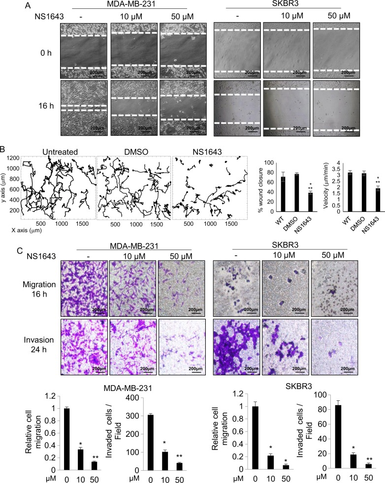 Kv11.1 stimulation inhibits breast cancer cell motility. a Representative images are showing the effect of Kv11.1 stimulation on breast cancer cell motility in wound healing scratch assays. Cells were treated with indicated concentrations of NS1643 (50 μ m ; n = 5; Dotted lines align with the center of the control border cell cluster). b Single-cell tracking of untreated control cells, vehicle control cells (DMSO) and NS1643-treated cells. Bar graphs show the effect of NS1643 on wound closure. Data are mean values ± S.E; * p