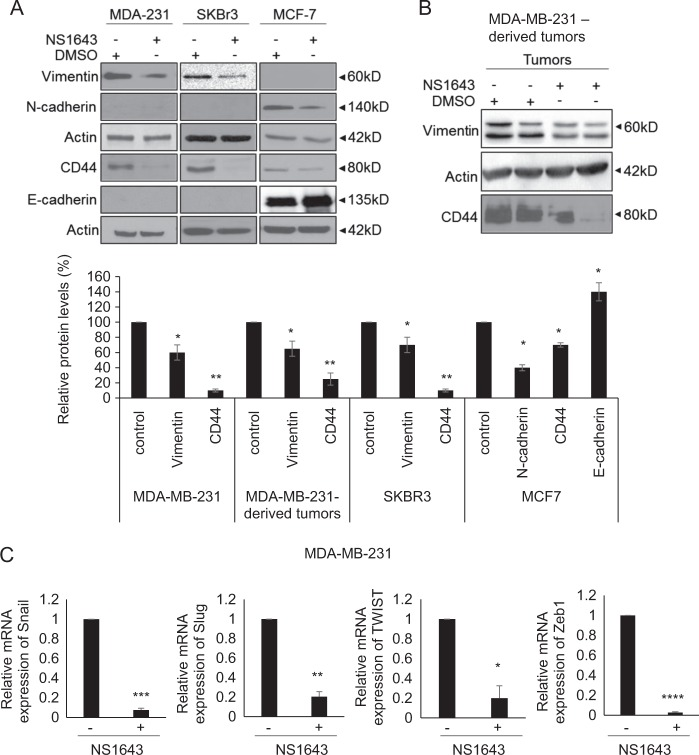 Kv11.1 stimulation inhibits reprograms EMT. a Representative western blot images of EMT markers (N-cadherin, Vimentin, CD44, and E-cadherin) in MDA-MB-231, SKBR3, and MCF7 breast cancer cells treated with either vehicle control or NS1643. Cells were treated with 50 μ m of NS1643 for 24 h, harvested and subjected to western blot analysis. Actin was used as a loading control. Quantification of the levels of Vimentin, CD44, N-Cadherin, and E-cadherin was done using NIH ImageJ software. Data are expressed as mean ± SEM; *p