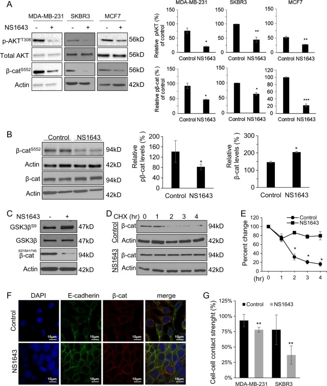Kv11.1 controls β-catenin nuclear translocation signaling. a Representative western blot images of phospho-AKT T308 , phospho-β-catenin S552 , and total AKT levels in cells or b tumors extracted from mice treated with control or NS1643. Cells were treated with 50 μ m of NS1643 for 24 h, harvested, and subjected to western blot analysis. Actin was used as a loading control. Quantification of the levels of phospho-AKT and phospho-β-catenin were done using NIH ImageJ software. c Representative western blot images of phospho-GSK3⍰Ser9 and total GSK3⍰ levels in MDA-MB-231. d Representative western blot images of β-catenin levels in cells treated with cycloheximide alone or NS1643 for the indicated time and e quantification of the effects ( n = 3). Quantification of the levels of β-catenin and phospho-β-catenin were done using NIH ImageJ software. f Confocal microscopy images are representing the accumulation of β-catenin at the surface membrane in MDA-MD-231 cells treated with control vehicle or NS1643 for 24 h. g Graph showing the effect of NS1643 on cell–cell contact measured by Dispase assay ( n = 6; mean ± SD; * P