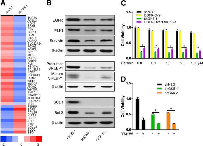 GK5 knockdown suppresses PC9R cell proliferation by inhibiting EGFR/AKT/SREBP1/SCD1 signaling molecules. a Whole human cDNA array analysis. b Western blotting on protein levels of EGFR, p-AKT, AKT, survivin, PLK1, SREBP1, SCD1 and Bcl-2 in PC9R cells c CCK8 assay on cell proliferation of PC9R cells overexpressing EGFR and infected with viral particles expressing shGK5–1 and shNEG. d CCK8 assay on cell proliferation of PC9R cells transfected with shGK5–1, − 2 or shNEG and treated with YM155. * p