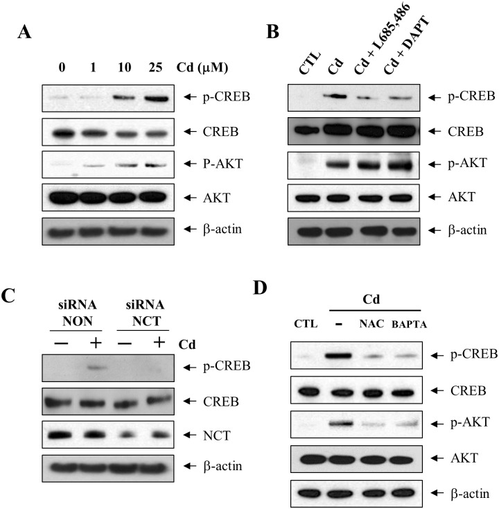 Phosphorylation of CREB by Cd is mediated by γ-secretase activation. (A) C6 cells were treated for 6 h with 0, 1, 10, and 25 μM Cd and lysed in RIPA buffer. (B) C6 cells were pretreated for 1 h with γ-secretase inhibitors (2.5 μM DAPT and 1 μM L-685,486) and then exposed to 25 μM Cd for 6 h. (C) Cells were transfected and incubated with siRNA against nicastrin (siRNA NCT) and non-targeting control (siRNA NON) for 48 h followed by treatment with 25 μM Cd for 6 h. (D) C6 cells were preincubated for 1 h in the presence of BAPTA-AM (10 μM) or NAC (10 mM), and then treated with 25 μM Cd. Total cell extracts were analyzed by western blotting using antibodies against p-CREB (Ser133), CREB, p-AKT (Thr308), and AKT. β-actin indicated equal loading of lysates.