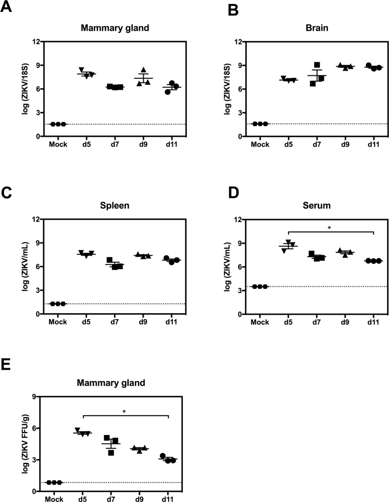 ZIKV replication in mammary glands of AG129 mice. Postpartum 8-week-old AG129 dams were retro-orbitally inoculated with 1 x 10 2 FFU of ZIKV FSS13025 or 10% FBS-PBS as Mock within 24 hours of parturition. (A-D) Viral titers in mammary gland, brain, spleen and serum were determined via qRT-PCR at 5, 7, 9 and 11 days post infection (dpi). (E) Levels of infectious ZIKV in mammary gland were determined by FFA at 5, 7, 9 and 11 dpi. Negative controls were evaluated at 5 days after mock-infection (A-E). n = 3 mice per time point in each panel. Data represent two independent experiments.