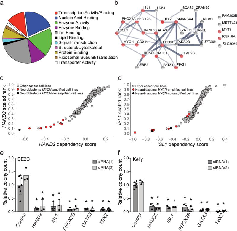 Genome-scale CRISPR-Cas9 screening identifies selective neuroblastoma gene dependencies enriched for transcription factors a. Gene ontology classification of terms associated with selective dependencies in neuroblastoma reveals enrichment for transcription factor activity or binding and nucleic acid binding proteins. n=147 genes, 252 GO-slim molecular class assignments. p=8.48×10 −3 nucleic acid binding, p=6.78×10 −3 transcription factor activity or binding, by 1-sided Fisher exact test (adjusted using Benjamini-Hochberg correction) comparing the ontologie s of dependencies to all assayed genes in the genome. b. STRING database analysis demonstrates 25 of 30 transcription factor dependencies have putative protein-protein interactions. Edge widths correspond to the level of confidence in interactions (medium confidence STRING score 0.4; high confidence STRING score 0.7; highest confidence STRING score 0.9). Red nodes indicate transcription factors previously co-reported with neuroblastoma in a literature search. c and d. Representative scatter plots showing neuroblastoma relative dependency on HAND2 (c) and ISL1 (d) with p