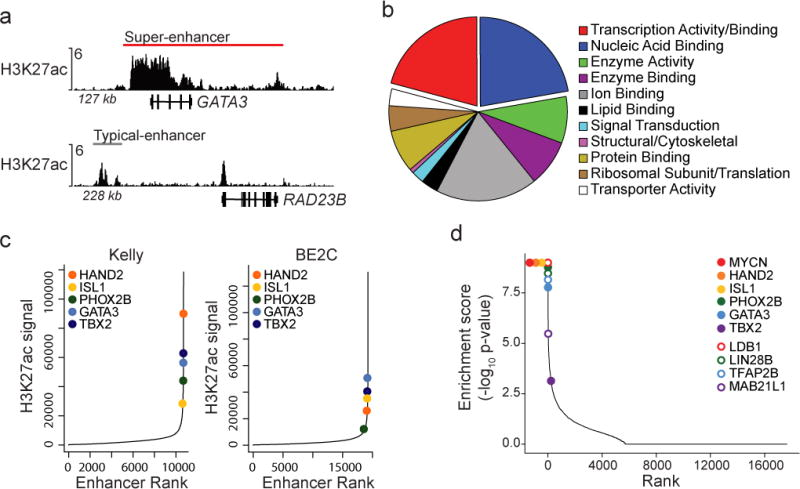 Several transcription factor dependency genes are marked by extensive H3K27ac and are enriched for dependency in human MYCN -amplified neuroblastoma a. Normalized ChIP-seq tracks for H3K27ac demonstrate a SE at the GATA3 locus compared to a typical enhancer at the RAD23B locus in BE2C; tracks represent a combination of 2 independent experiments. ChIP-seq read densities (y-axis) were normalized to reads per million reads sequenced in each sample. b. Gene ontology classification of terms associated with 77 shared SE-associated genes across five MYCN -amplified neuroblastoma cell lines reveals enrichment for transcription factor activity or binding (p=1.48×10 −6 ), and nucleic acid binding proteins (p=1.40×10 −2 ); n=77 genes, 130 GO-slim molecular class assignments, using 1-sided Fisher exact test (adjusted using Benjamini-Hochberg correction) comparing ontologies in SE-associated genes to all genes in the genome. c. Identification of enhancers by ranked H3K27ac signal across all genes in the MYCN -amplified cell lines Kelly and BE2C. Highlighted are transcription factor dependencies with shared SEs across all five MYCN- amplified cell lines. d. The rank of CRISPR-Cas9 dependencies genome-wide demonstrates selective dependency of shared SE-associated genes. Eleven of 69 SE-associated genes were enriched for selective dependency in neuroblastoma (p=1.11×10 −10 by 2-sided Fisher exact test compared to all genes assayed). Highlighted are 10 of 11 SE-associated dependency genes annotated with transcription factor activity/binding or nucleic acid binding ontologies. Closed circles reflect transcription factors evaluable by ChIP-seq; open circles represent those not evaluated. X-axis shows gene rank in enrichment analysis (modified Kolmogorov-Smirnov test with permutation testing) for MYCN -amplified neuroblastoma versus other cancer cell lines. Y-axis shows the -log 10 (p-value) from enrichment analysis. Enrichment p-value for MYCN, HAND2, <t>ISL1</t> and LDB1 was