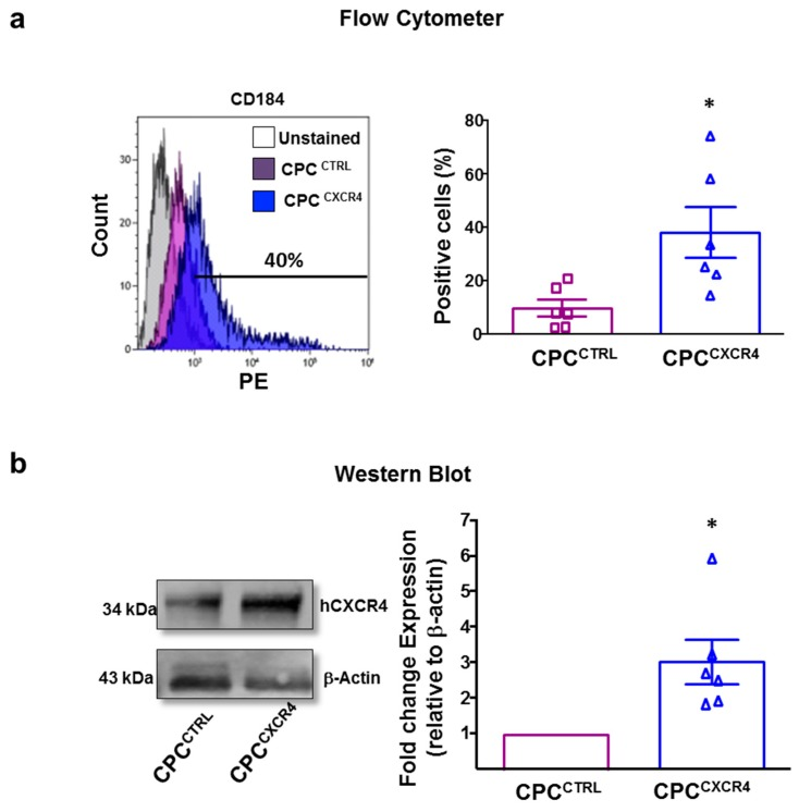 The hCXCR4 expression. ( a ) Flow cytometer analyses for relative expression of hCXCR4 (CD184) in control CPC (CPC CTRL , purple histogram), and CXCR4 overexpressing CPC (CPC CXCR4 , blue histogram). Quantitative data are percentage of positive cells ( n = 6 patients/group) * p