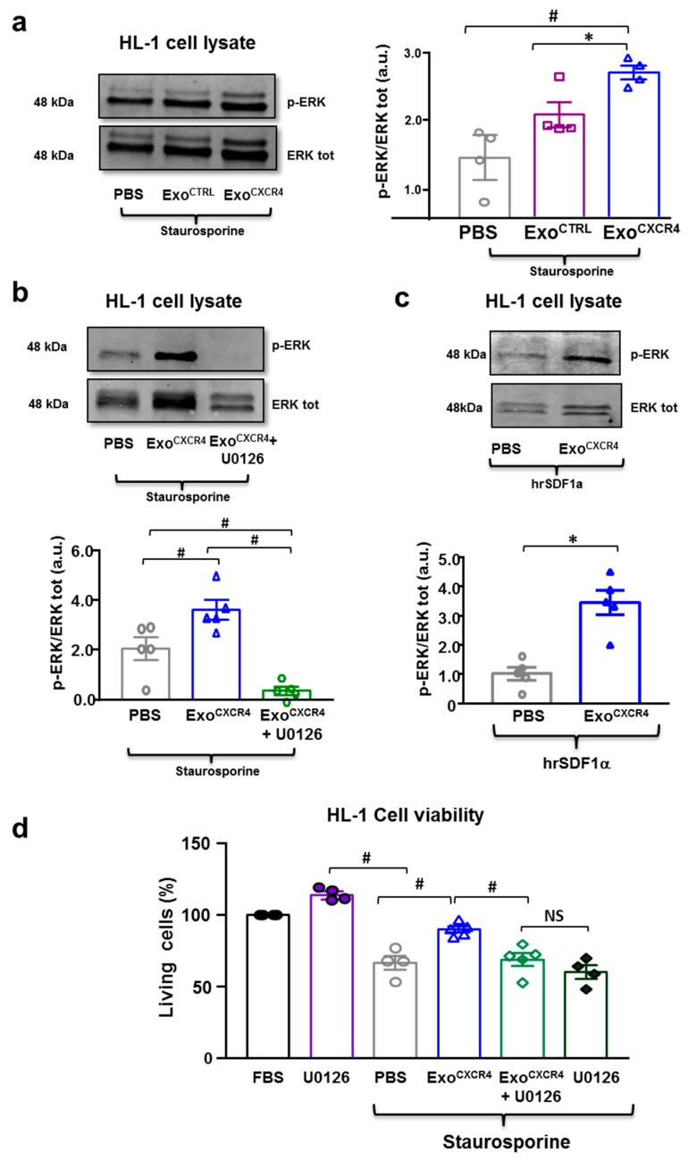 ( a ) Western blot showing pro-survival ERK1/2 phosphorylation in HL-1 CM when Exo CTRL , and Exo CXCR4 were added to the medium in stress-conditions ( n = 4 patients/group) # p