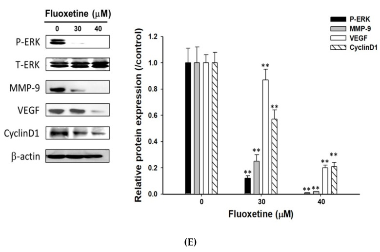 Fluoxetine decreased the cell migration/invasion and expression of pERK, metastasis-associated and proliferative proteins in SK-Hep1 and Hep3B cells. SK-Hep1 and Hep3B cells were treated with 0, 30 µM, and 40 µM of fluoxetine for 48 h. Then ( A , C ) migration assay or ( B , D ) invasion assay was performed. Quantification results were measured by four selected field per group. ( E ) Western blots were performed with P-ERK, T-ERK, MMP-9, VEGF and CyclinD1 antibodies to the indicated protein expression after fluoxetine treatment on SK-Hep1 cells. Quantification data were normalized by β-actin expression and averaged over three repeated experiments. ** p