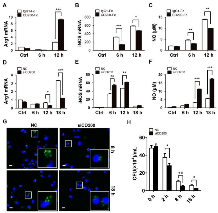 CD200 signaling inhibits NO synthesis and bactericidal activity of S. aureus -infected macrophages. ( A – C ) Mouse BMDMs were pre-treated with CD200-Fc (2 μg/mL) or IgG1-Fc (2 μg/mL) for 1 h, and then stimulated with S. aureus (MOI = 1) for indicated time periods (0–12 h). Relative mRNA levels of Arg1 ( A ) or iNOS ( B ) were detected by qPCR. NO release was determined using Griess reagent system ( C ). ( D – F ) Mouse PEMs were transfected with siCD200 or NC siRNA for 48 h, and then stimulated with S. aureus (MOI = 1) for indicated time periods (0–18 h). Arg1 ( D ) and iNOS ( E ) mRNA levels and NO release ( F ) were determined. ( G ) PEMs transfected with siCD200 or NC siRNA were challenged with CFSE-labeled S. aureus (MOI = 10) for indicated time periods (0–18 h). Cells were collected, fixed, and stained with DAPI. Intracellular bacterial were observed using a fluorescence microscope. A partially enlarged view was shown in the lower left corner. Scale bars: 10 µm. Shown are representative images from three independent experiments. ( H ) Mouse PEMs were transfected with siCD200 or NC siRNA for 48 h, and then challenged with S. aureus (MOI = 10) for indicated time periods (0–18 h). Cells were lysed and the intracellular bacterial burden was determined by CFU counting. Results are expressed as the mean ± SD of three independent experiments; * p