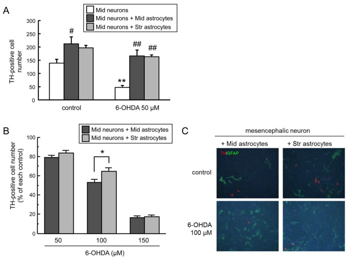 ( A ) Neuroprotective effects of co-culture with mesencephalic or striatal astrocytes against 6-hydroxydopamine (6-OHDA)-induced toxicity in mesencephalic neurons. Mesencephalic neurons were exposed to 6-OHDA (50 µM) for 24 h co-existing with mesencephalic or striatal astrocytes. Each value is mean of the number of tyrosine hydroxylase (TH)-positive neurons ± SEM ( n = 4); ** p