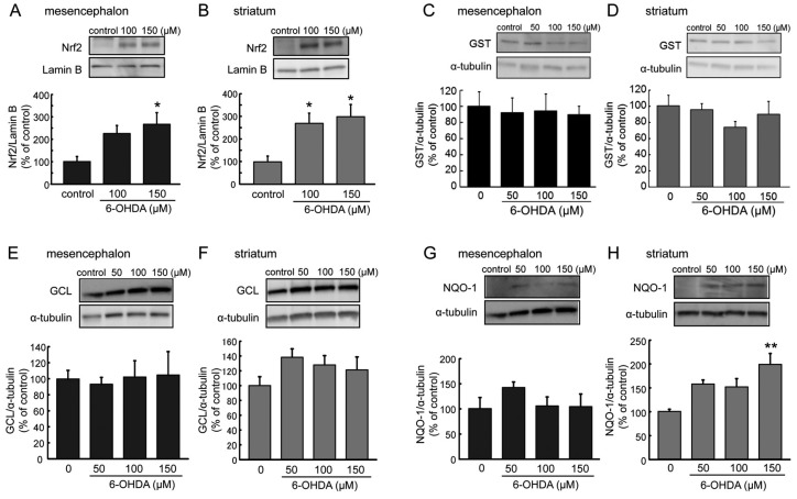 ( A , B ) Effects of 6-OHDA treatment (100–150 µM) for 6 h on nuclear Nrf2 expression in mesencephalic ( A ) or striatal ( B ) astrocytes. Data are means ± SEM ( n = 5–6); * p