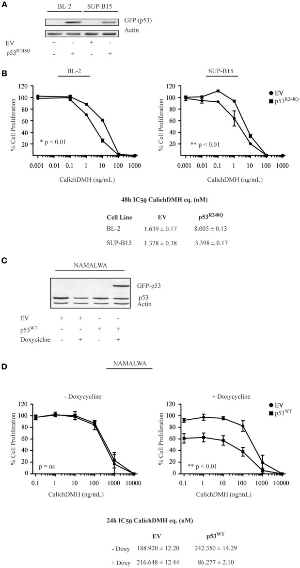 <t>p53</t> wild-type increases the sensitivity of CD22-positive cells to Inotuzumab Ozogamicin. (A) BL-2 and SUP-B15 cell lines were lentivirally transduced with an empty vector (EV) or the GFP-tagged p53 R248Q -pLEX construct. After puromycin selection, cells were lysed and protein extracts were blotted using an anti-GFP antibody to verify protein expression. Actin was employed as a loading control. (B) The modified cell lines, stably expressing either EV (•) or mutant p53 (■) were then exposed to logarithmic doses of IO and their reduction in cell proliferation was evaluated employing the ATPLite luminescence assay. Results represent the average ± standard deviation of at least three different experiments performed in triplicates with relative luminescence of untreated cells arbitrarily set at 100%. IC 50 values were calculated by logistic non-linear regression and are presented as nM equivalents of CalichDMH. (C) Namalwa cells were transduced with an empty vector (EV) or GFP-tagged wild-type (WT) <t>p53—pTRIPZ</t> vector using an inducible lentiviral system. After puromycin selection, cells were treated for 24 h with doxycycline to induce wild-type p53 expression. Cells were harvested, lysed and protein extracts were simultaneously blotted for p53 and Actin, the latter employed as a loading control. (D) The reductions in proliferation of Namalwa cells expressing EV (•) or p53 WT (■) were then evaluated after co-treatment for 24 h with doxycycline and logarithmic doses of CalichDMH. Results represent the average ± standard deviation of at least three different experiments performed in triplicates with relative luminescence of untreated cells set arbitrarily at 100%. IC 50 values are reported as nM equivalents of CalichDMH.