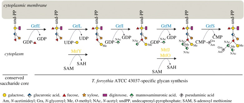 Biosynthesis pathway of the T. forsythia ATCC 43037 O -glycan. Modified after [ 21 ]. (Online version in colour.)