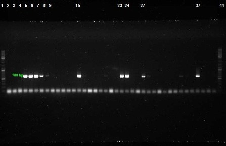 PCR assay for detection of bla TEM gene with product size: 700 bp. Lanes 2–36: Amplified products, Lane 37: Positive control, Lanes 1 and 40: DNA ladder 100 bp, Lane 38–40: Negative control
