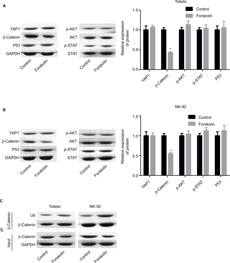 Forskolin reduced β-catenin expression while it increased its ubiquitination. Notes: Toledo and NK-92 cells were incubated with 0, 20, 40, 80, or 160 μM of forskolin for 48 hours, then ( A, B ) Western blotting was recruited to determine the expression of YAP1, β-catenin, AKT, p-AKT, STAT, and p-STAT, and ( C ) IP assay was used to examine the expression of ubiquitin, which binds to β-catenin protein. (n=3, * P