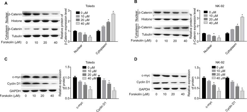 Forskolin reduced the nuclear accumulation of β-catenin and the expression of c-myc and cyclin D1. Notes: ( A, B ) The protein expression of cytoplasmic and nuclear β-catenin in Toledo and NK-92 cells in the presence of 0, 10, 20, or 40 μM forskolin was detected by Western blotting. ( C, D ) Western blotting analysis of the total protein expression of c-myc and cyclin D1 influenced by 0, 10, 20, or 40 μM of forskolin in Toledo and NK-92 cells (n=3, * P