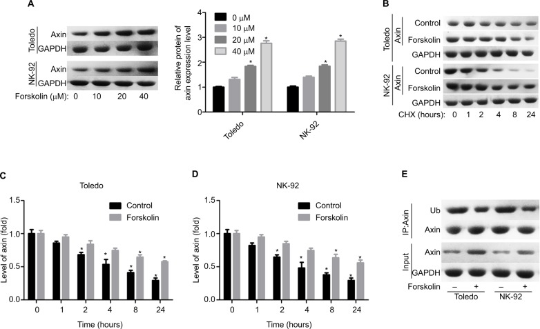 Forskolin increased the stability of Axin protein and reduced its ubiquitylation. Notes: ( A ) Toledo and NK-92 cells were treated with 0, 10, 20, or 40 μM of forskolin for 48 hours, then cells were collected for Western blotting analysis to determine the expression of Axin. ( B ) Toledo and NK-92 cells were treated with 0, 10, 20, or 40 μM of forskolin for 48 hours, then the culture medium was replaced with CHX (100 mg/mL) and incubated for 0, 1, 2, 4, 8, and 24 hours, next cells were harvested for Western blotting analysis with antibody against Axin. ( C, D ) Bar graph of the expression of Axin related to Figure 5B . ( E ) IP assay was used to analyze the expression of Ub combining with Axin protein in the presence or absence of forskolin (40 μM) (n=3, * P
