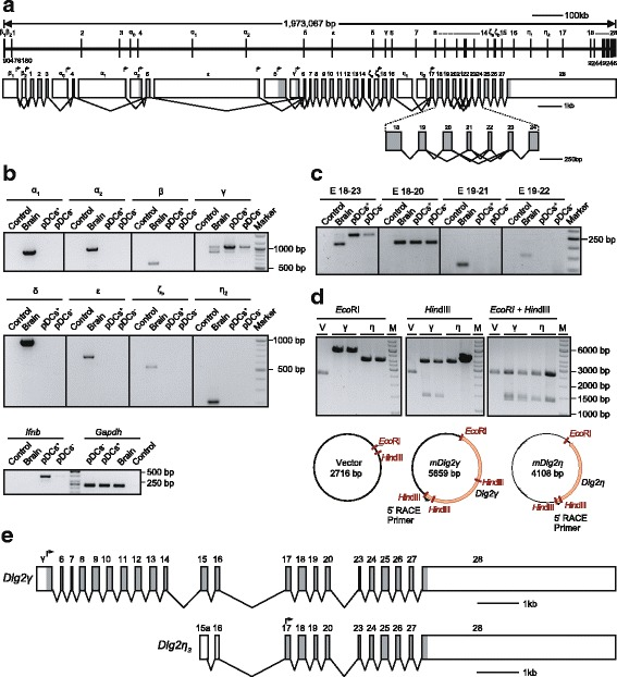 Analysis of Dlg2 isoforms expressed in IFNβ/YFP + -producing pDCs. ( a ) Gene architecture and alternatively spliced transcripts of the Dlg2 gene. ( a , upper graph) Genomic position of Dlg2 gene is presented. Exons are shown as vertical bars and introns as thin horizontal lines. Introns and exons are drawn to scale. Smaller exons (less than 1 point line space) are not to scale. ( a , lower graph) Exons are shown as boxes and are drawn to scale. Exons are named or numbered as indicated. Alternative exon-exon-junctions are indicated with connecting lines. Grey boxes show protein coding regions whereas empty boxes represent untranslated mRNA regions. ( b ) RT-PCR of Dlg2 N-terminal isoforms in IFNβ/YFP + and IFNβ/YFP — BM-derived pDCs (upper and middle panel). Flt3L cultures from six pooled IFNβ mob/mob mice were stimulated with CpG for 6 h and FACS-sorted for YFP + (pDC + ) and YFP — pDCs (pDC — ). Naïve brain from C57BL/6 N mice was used as positive and not reversely transcribed RNA from YFP + pDCs as negative controls (Control). Lower panel shows Gapdh and Ifnb expression in the respective cDNA samples indicating successful stimulation and sorting of pDCs as well as equal template amounts. ( c ) SH3-GUK linker isoforms of Dlg2 in RT-PCR. SH3-GUK region was amplified using cDNA samples as described above in ( b ). ( d ) Restriction analysis of Dlg2 clones generated after 5´-RACE PCR. Empty vector or selected 5´-RACE clones were digested either with Eco RI (left), Hin dIII (middle), or with both restriction enzymes (right). Lower panel shows the plasmid maps for the clones shown in the upper panel. ( e ) Exon-intron structure of the Dlg2 isoforms expressed in pDCs. Exons are shown as boxes and are drawn to scale as shown in A (lower part)