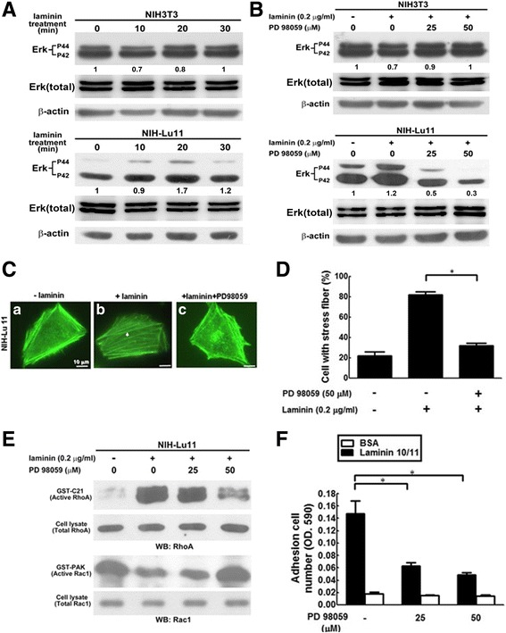 The role of Erk phosphorylation in Lu/BCAM-laminin-related Rac/Rho activity, F-actin arrangement and adhesion of NIH-Lu 11 cells. ( A ) Phosphorylation of Erk in NIH-Lu11 cells after laminin treatment for different time periods were investigated using Western blotting. ( B ) The phosphorylation of Erk was evaluated after pretreatment with MEK1/2 inhibitor PD98059 for 1 h at various dosages. ( C ) F-actin distribution in NIH-Lu11 cells with or without laminin and in the presence or absence of PD98059 was labeled with Alexa Fluor™ 488-conjugated phalloidin. a : Cells without any treatment; b : Cells treated with laminin (0.2 μg/ml); c : Cells treated with laminin (0.2 μg/ml) and PD98059 (50 μM) Arrow : polymeric F-actin. ( D ) The quantitative data of ( C ) showed those cells with scattering F-actin distribution. ( E ) NIH-Lu11 cells were pretreated with PD98059 at various dosages in the presence of laminin. Activities of RhoA and Rac-1 were evaluated by GST-C21 and GST-PAK pull-down assay, respectively, followed by Western blotting. ( F ) The adhesion ability of NIH-Lu11 cells was evaluated by pretreating cells with PD98059 for 1 h followed by plating cells on 96-well plates pre-coated with laminin 10/11 or BSA. The adhesion ability of NIH-Lu11 cells was then measured. This experiment was repeated three times. *: p