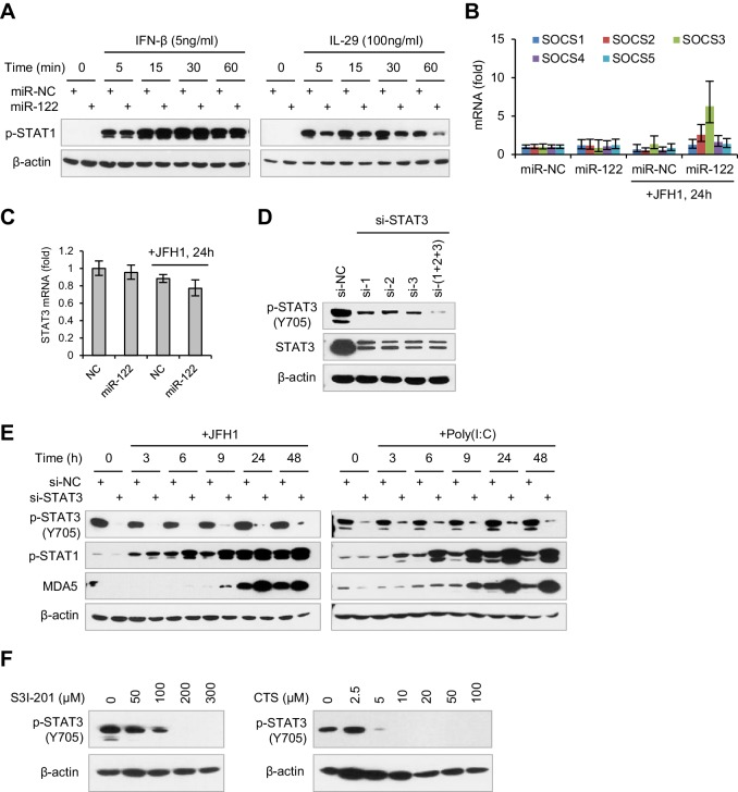 miR-122 regulates IFN response by repressing STAT3 phosphorylation. ( A ) Analysis of p-STAT1 expression in HepG2 cells first transfected with mimics (NC or miR-122) for 2 days and then treated with IFN-β or IL-29 for 5–60 min. ( B ) qRT-PCR analysis of the five SOCS genes in HepG2 cells first treated with mimics for 2 days, and then transfected with JFH1 RNA for 24 hr. ( C ) qRT-PCR analysis of STAT3 mRNA in HepG2 cells, treated as in panel B. ( D ) Analysis of total and phosphorylated STAT3 in HepG2 cells treated with three independent siRNAs (si-1, si-2 and si-3) at a final concentration of 20 nM. ( E ) Analysis of p-STAT1 and MDA5 in HepG2 cells transfected with STAT3 siRNA and then treated with JFH1 RNA or poly(I:C). ( F ) Analysis of the dose-dependent effects of cryptotanshinone (CTS) and S3I-201 on p-STAT3. HepG2 cells were treated with either CST or S3I-201 at the indicated concentrations for 24 hr. qRT-PCR data are from one experiment that was representative of two ( B ) or three ( C ) independent experiments (mean ± SEM of technical triplicates).