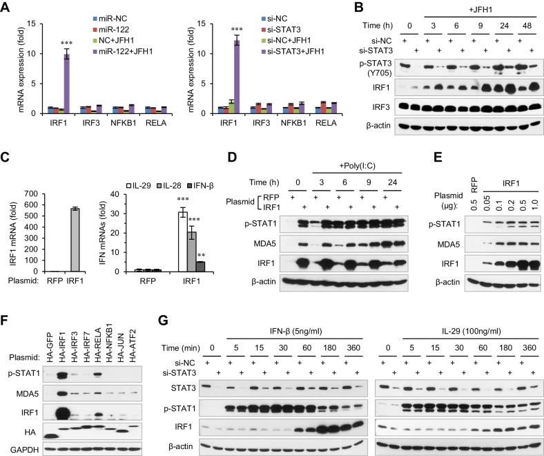 STAT3 inhibits the transcriptional activation of IRF1. ( A ) qRT-PCR analysis of IRF1, IRF3, NFKB1 and RELA in HepG2 cells first treated with mimics or siRNAs, and then transfected with or without JFH1 RNA for 24 hr. ( B ) Analysis of IRF1 and IRF3 protein expression in HepG2 cells treated with siRNAs and then JFH1 RNA. ( C ) qRT-PCR analysis of IRF1 and IFNs in HepG2 cells transfected with vectors expressing IRF1 or RFP (after 2 days). ( D ) Analysis of p-STAT1 and MDA5 in HepG2 cells transfected with IRF1 or RFP plasmids for 2 days, and then treated with poly(I:C) for 3–24 hr. ( E ) Analysis of p-STAT1 and MDA5 in HepG2 cells transfected with the indicated doses of IRF1 plasmids (0.05–1 μg/well in a 24-well-plate) for 2 days. ( F ) Analysis of IRF1, p-STAT1 and MDA5 in HepG2 cells transfected with plasmids expressing 7 HA-tagged transcription factors (after 2 days). HA-GFP was used as a negative control. ( G ) Analysis of IRF1 and p-STAT1 in HepG2 cells first transfected with STAT3 siRNA for 2 days, and then treated with IFN-β or IL-29 for 5–360 min. qRT-PCR data are from one experiment that was representative of three experiments (mean ± SEM of technical triplicates). *p