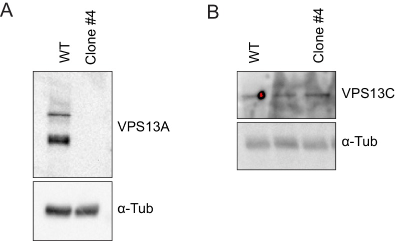 Validation of the VPS13A mutant cell line (VPS13A KO). ( A, B ) Control (WT) and VPS13A KO MRC5 cells were analysed by Western blot analysis for the presence or absence of VPS13A ( A ) and VPS13C ( B ). α-Tubulin was used as a control.