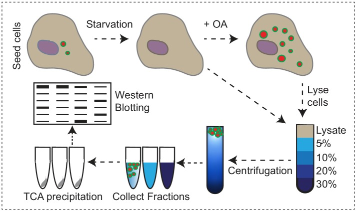 Endogenous VPS13A is enriched at fractions containing LDs upon OA induction Workflow of LDs isolation and sucrose gradient fractionation. FBS starved HeLa cells were processed or were subsequently incubated for 24 hr with 500 µM OA in FBS free medium, lysed and fractionated in 5–30% sucrose density gradients. Proteins in collected fractions were concentrated by TCA precipitation and subsequently separated by SDS- PAGE.